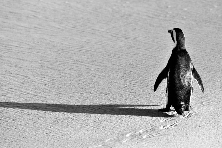 EyeEmNewHere EyeEm Nature Lover Penguin Nature Animal Wildlife Black And White One Animal Shadow Traces In The Sand Walking Alone...