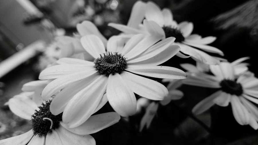 Black And White African Daisy Things I Like