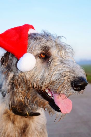 Domestic Animals Animal Themes Pet Clothing Outdoors Showcase December December 2016 Autumn 2016 Irish Wolfhound Dogs Of EyeEm Dogslife Dogs Of Winter Evening Light Dogwalk Dog Of The Day Bokeh Animals In The Wild Eyes Are Soul Reflection Cearnaigh Dog Christmas Decorations Christmas Around The World
