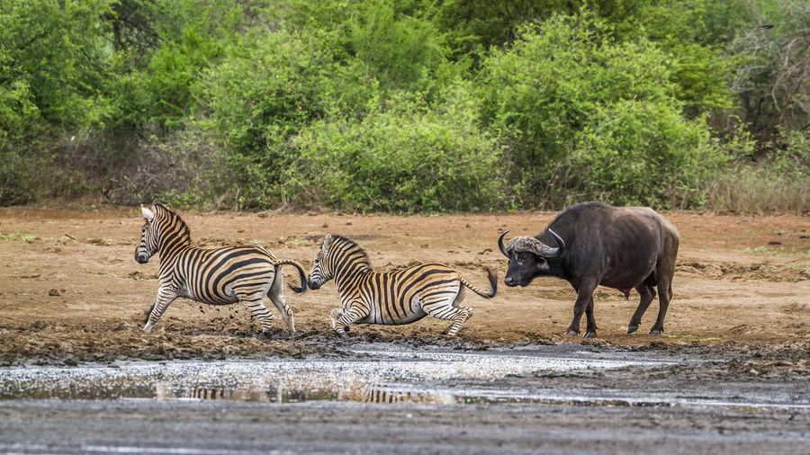 African buffalo and zebras on lakeshore