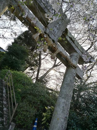 Tree Low Angle View Nature Branch Tree Trunk No People Outdoors Sky Day Beauty In Nature 神社 Japan