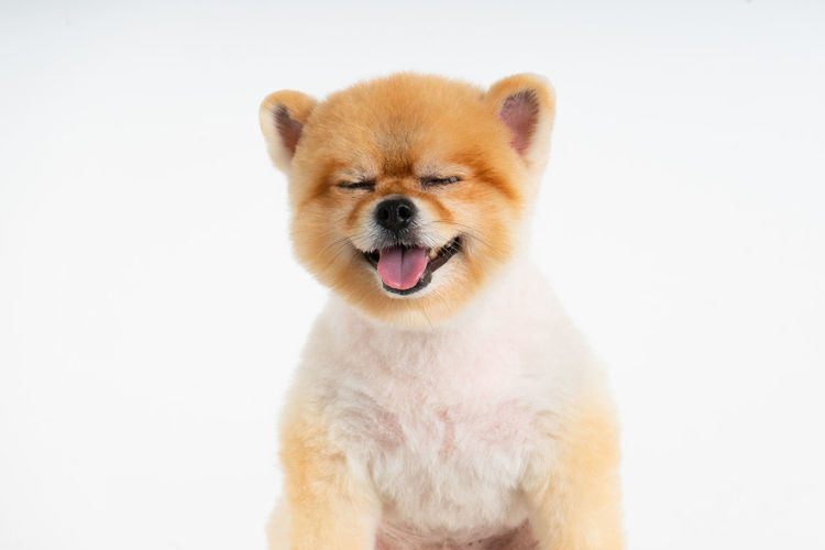 Isolated closeup portrait Pomeranian dog smiling with funny face on the white background. Studio shot of small brown puppy Mammal Animal Studio Shot Pets Vertebrate Mouth Open Dog Canine Funny Faces Smiling Eyes Closed  Adorable Dog Pomeranian Puppy Isolated White Background
