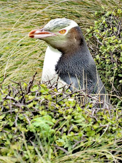 Yellow eyed Penguin Yellow Eyed Penguin Hoiho Sub Antarctics Uncommon  Wildlife NZ Birds Endangered Species Auckland Islands Enderby Island Penguin Animal Themes One Animal Day Outdoors No People Animals In The Wild Nature Bird Animal Wildlife Close-up Grass