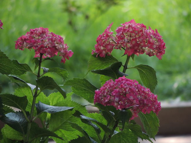 Beauty In Nature Bunch Of Flowers Close-up Day Flower Flower Head Flowering Plant Focus On Foreground Fragility Freshness Green Color Growth Inflorescence Lantana Leaf Lilac Nature No People Outdoors Petal Pink Color Plant Plant Part Vulnerability