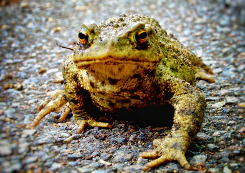 One Animal Animals In The Wild Animal Wildlife Animal Themes Outdoors Close-up Nature Day Sunlight Reptile No People Toad