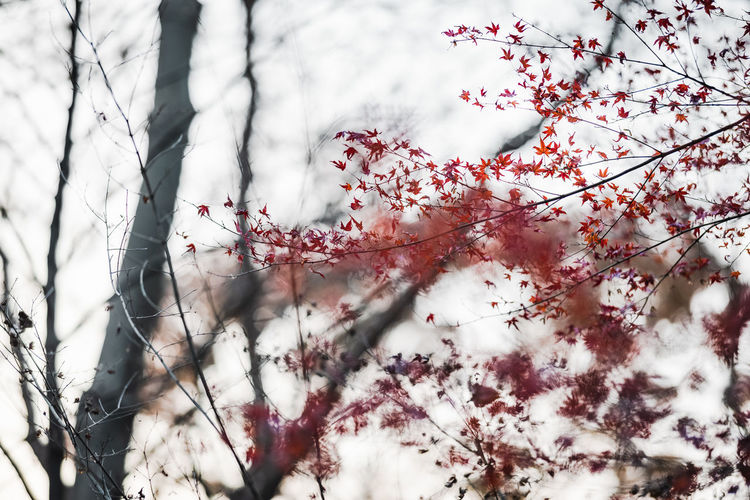 Low angle view of cherry blossom tree during winter