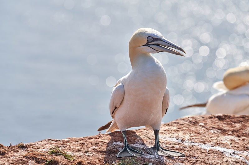 A gannet stand on a rock. bokeh sea in the background.