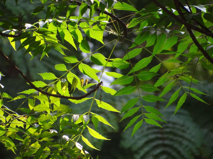 Low angle view of green neem leaves