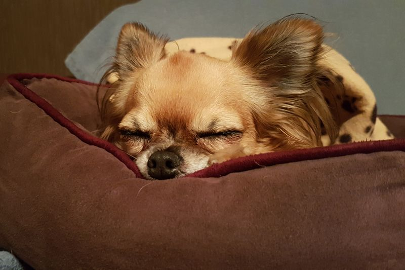 sleeping Portrait Silence Dogs Dog Love Dogs Of EyeEm EyeEm Selects EyeEmNewHere EyeEm Gallery EyeEm Indoors  Sleeping Pets Dog Protruding Portrait Close-up Chihuahua - Dog Chihuahua Napping At Home Tired