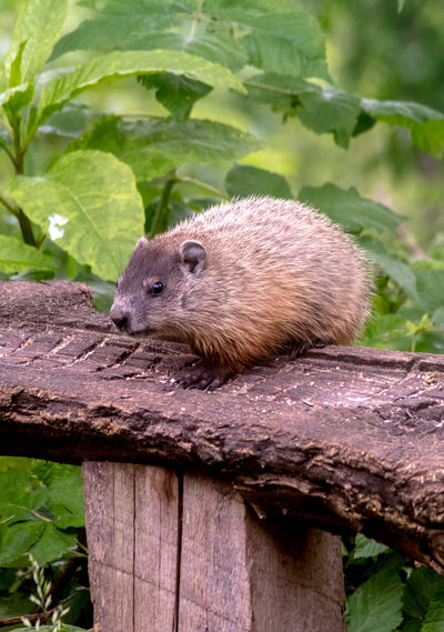 A  woodchuck sits on a wooden tree plank and munches on bird seed