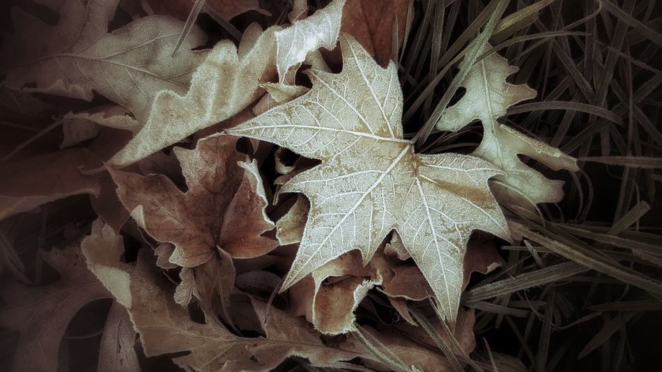 Falling frost Full Frame Nature Beauty In Nature Winter Frost Leaf 🍂 Woods EyeEmBestPics Nature Photography EyeEm Best Shots Galaxys6 Atmospheric Mood Beauty In Nature EyeEm Best Shots - Nature Autumn EyeEm Best Shots Fall Colors Leaf Leaves