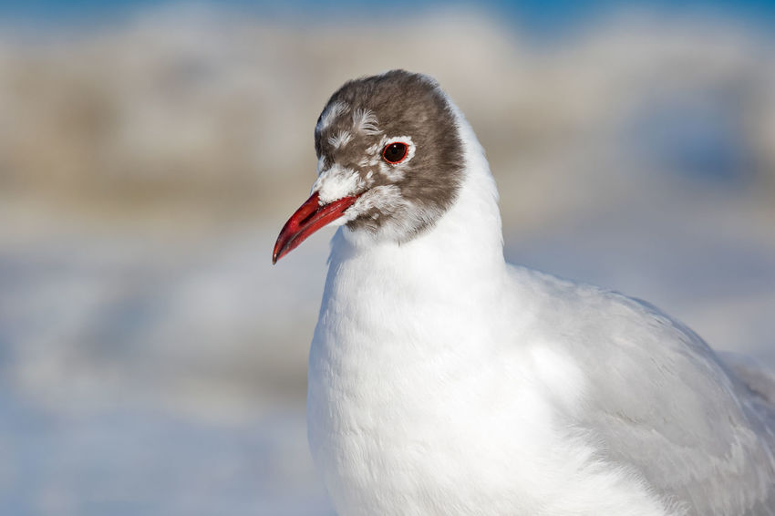 black-headed gull on ice Black-headed Gull Ice Winter Wintertime Animal Themes Animal Wildlife Animals In The Wild Beak Bird Blackheaded Gull Close-up Cold Temperature Day Focus On Foreground Gull Nature No People One Animal Outdoors Red Seagull Snow White Color