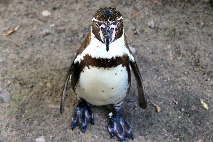 Pinguin The Explorer - 2014 EyeEm Awards EyeEm Nature Lover Birds EyeEm Best Shots Pinguin Penguin