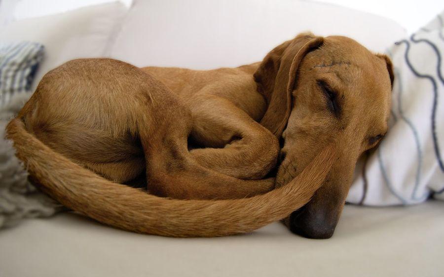 Animal Close-up Dachshund Dackelblick Dog Dogs Domestic Animals Fisheye Indoors  Laziness Pets Relaxation Sleeping Dog