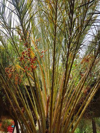 Kebilli Tunisia❤ Plams🌴 Kebili Palm Palm Leaf El Faouar Tunisie El Faouar Tunisia Palmtrees Tunisie Terre D'accueil Palm Tree Tunisia <3 Tunisia_with_love Tozeur, Tunisia Tozeur Tunisia Tunisie Tunisia❤