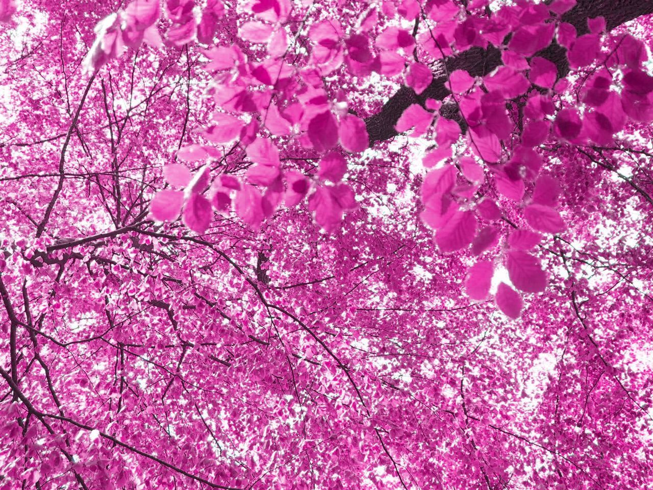 LOW ANGLE VIEW OF PINK CHERRY BLOSSOMS