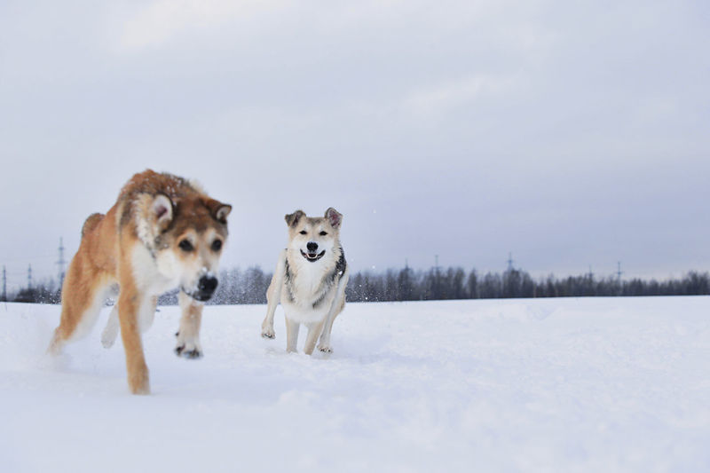 Dogs running on snow covered land