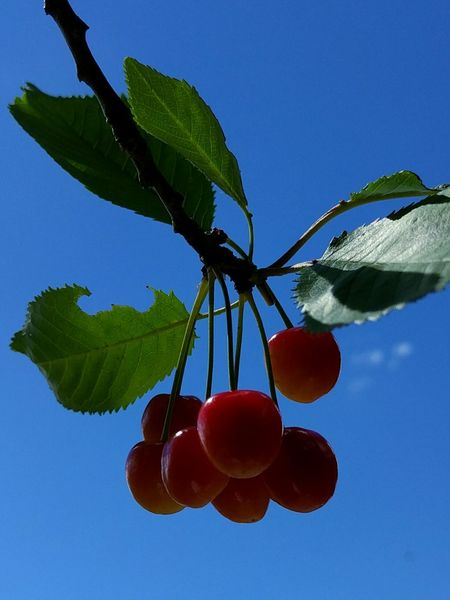 Cherries and clear sky, two of my favorite things 🍒 ☀ 💞 Taking Photos Relaxing Enjoying Life Eeyem Nature Lover Summer Feeling Cherries Clear Sky Blue Sky Fruits Berries Favorites Yummy Fruit Tree Berry Fruit Freshness Delicious Natures Candy Red Berries Picking Berries Summertime in Sweden