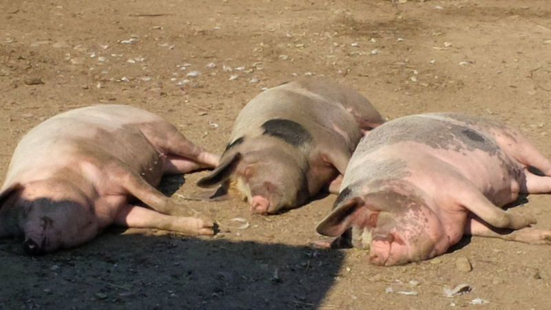 Pigs In The Sun Animal Themes Domestic Animals Happy Pigs Relaxation Sleeping Sleeping Pig