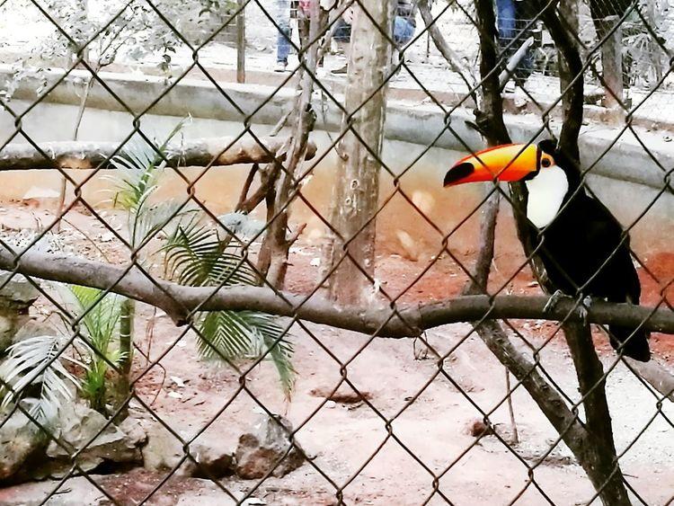 Tucan Bird Nature Animal Zoo Asunción Paraguay