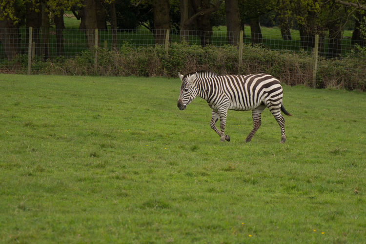 Animal Markings Animal Themes Animal Wildlife Animals Animals In Captivity Animals In The Wild Day Field Grass Green No People One Animal Outdoors Safari Standing Striped Zebra Zoo