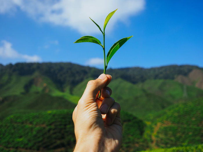 Cropped Image Of Person Holding Tea Crop Against Sky