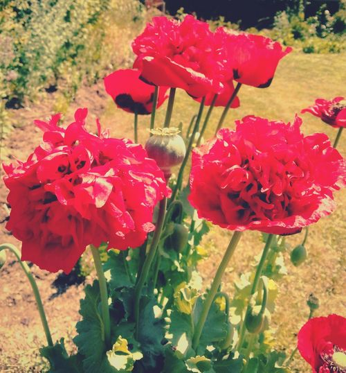 Stay away from heartless people. ... Poppies  Community Garden Red Poppy Flowers @cultiv8cwmharry мак маки цветы Flores Floral Summer