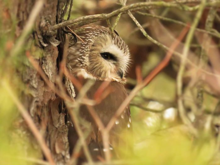 Saw whet owl perching on tree