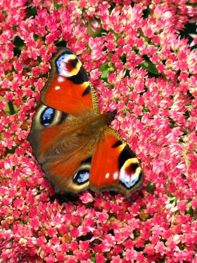 High angle view of butterfly on pink flowers