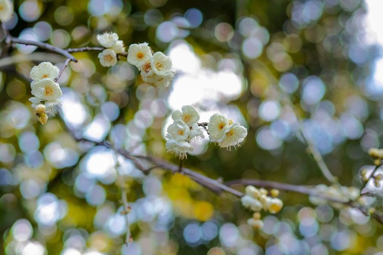 Plum Blossom Blossom Flowers Flower Collection Flowerporn EyeEm Nature Lover Nature Nature_collection Nature Photography Taking Photos EyeEm Best Shots EyeEm Gallery From My Point Of View The Week on EyeEm Branch Plant Growth Beauty In Nature Close-up Nature No People Freshness Flower White Color Springtime Selective Focus Flowering Plant Tranquility