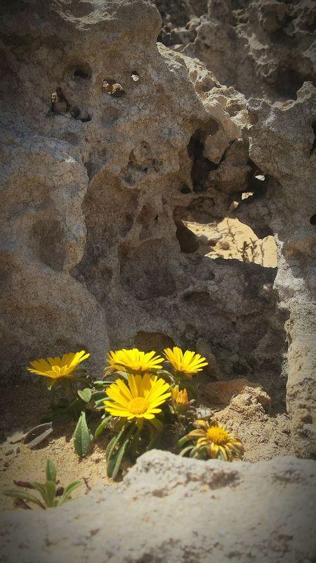 En la duna fosilizada... flores Dunas Calblanque Calblanque Natural Park Cartagenaspain Mar Mediterráneo Calblanque Spain Flower Beach Sand Yellow Close-up