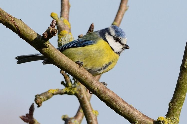 Close-up of bluetit perching on tree against sky