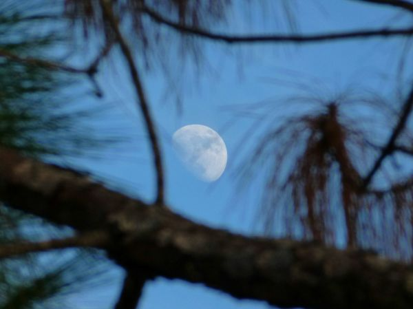 Daytime Moon Pine Tree Pine Needles Blue Sky Beauty In Nature Photography
