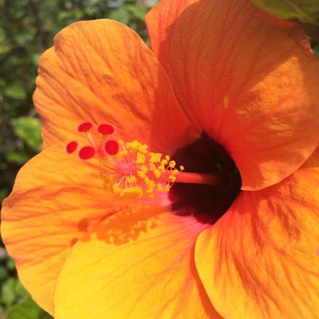 Flower Petal Flower Head Growth Fragility Beauty In Nature Nature Freshness Stamen Day Lily Close-up Pollen Blossom Blooming Plant Outdoors Day No People Hibiscus Oahu, Hawaii Garden Garden Photography Doleplantation Touristday Hawaii