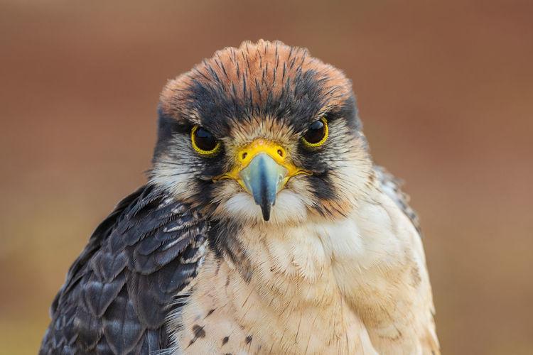 Close-up portrait of a lanner falcon - falco biarmicus