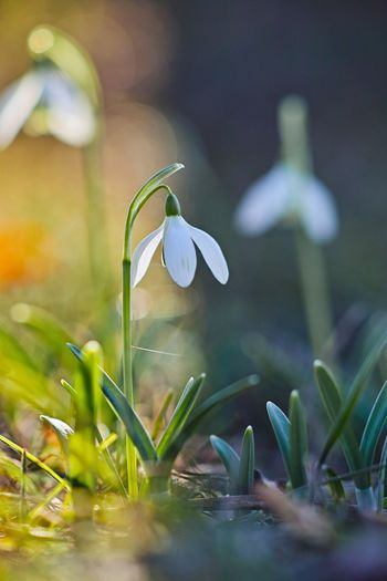Plant Flower Flowering Plant Fragility Vulnerability  Petal Growth Beauty In Nature Freshness Snowdrop Close-up Nature Selective Focus Inflorescence Flower Head Day No People Outdoors Field Land Iris Crocus