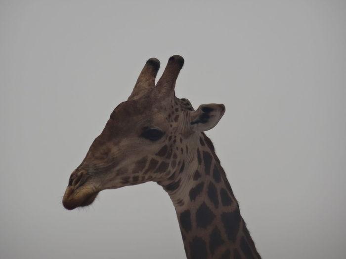 Bandia reserve African Safari Animal Body Part Animal Themes Animal Wildlife Animals In The Wild Bandia Reserve Day Giraffe Low Angle View Mammal No People One Animal Safari