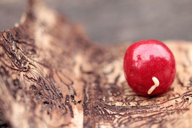 Grub bores through the cherry