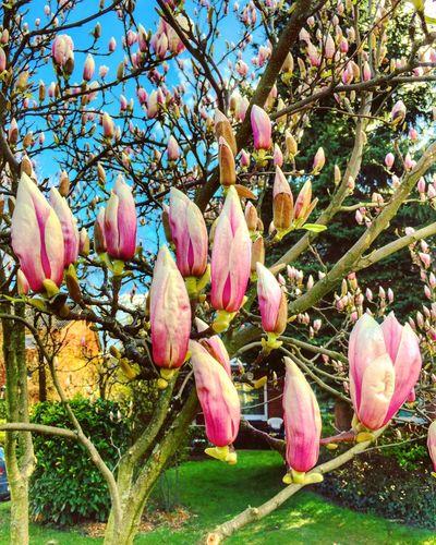 Tulip Poplar Spring Blue Sky Nature Pink Color Outdoors No People Close-up Beauty In Nature Tree Springtime Blossom Blooming Freshness Beauty In Nature
