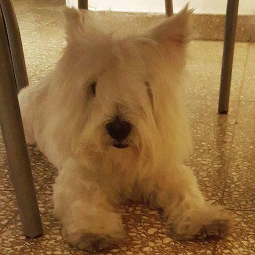 Hoy toco peluquería. . MeSientoDivine aunque no me guste quedarme toda la tarde en la vete.. 🐶 CeltaDiaries Dogtags Dogsofinstagram Westiegram Westy Picoftheday Dog Princess
