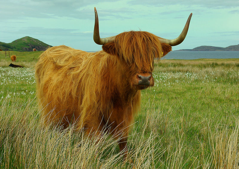 Highland Cow Animal Themes Beauty In Nature Cattle Crofting Day Domestic Animals Farm Animal Farming Field Grass Grazing Cattle Highland Cattle Highland Cow Horned Landscape Livestock Mammal Nature No People One Animal Outdoors Seaside Sky