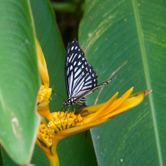 Butterfly on bird of paradise