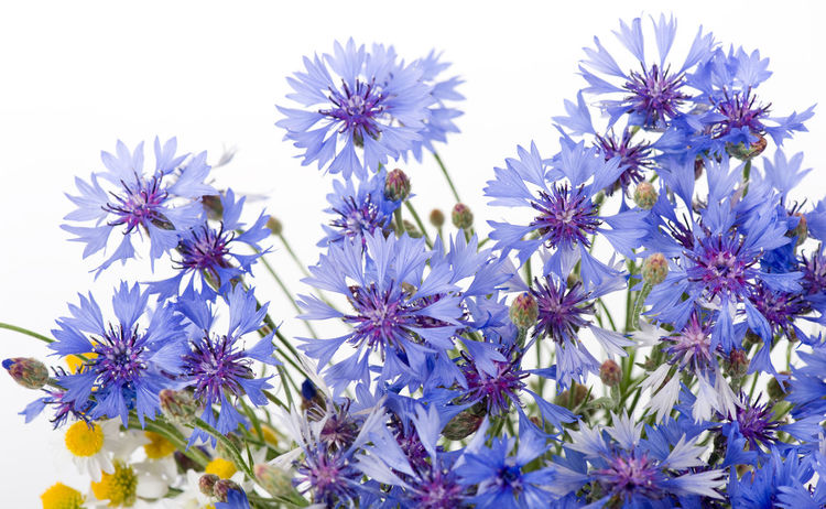 Cornflower many flowers in bouquet isolated on white background. Beautiful blue flowering cut weed plants in studio shot. Bachelor Bachelors Blue BlueBottle Bouquet Boutonniere Button Centaurea Cyanus Close-up Cornflower Cornflowers Cyani Flower Cyanus Flower Flower Head Flowers Hurtsickle Nature No People Weed White Background