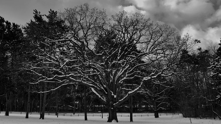 IPhone 7 Plus IPhoneography Snow Covered Blackandwhite Peaceful Tree Bare Tree Winter Snow Nature Cold Temperature Branch Beauty In Nature Tranquility Sky Winter No People Outdoors Beauty In Nature Park Tree Trunk