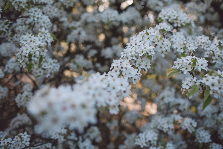 Flower Flowering Plant Plant Beauty In Nature Growth Vulnerability  Fragility Freshness Nature White Color Day No People Close-up Selective Focus Outdoors Full Frame Backgrounds High Angle View Tree Blossom Flower Head Springtime Lichen Cherry Blossom Springtime Decadence