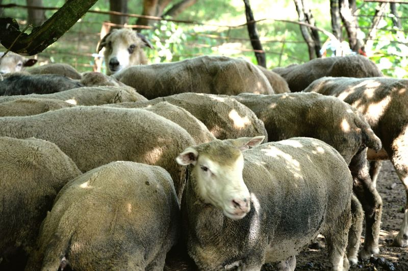 Sheeps Antalmajor Hidvégardó Hungary No People Animal Themes