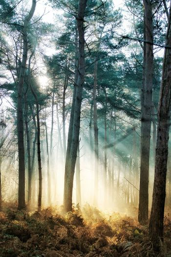 misty forest sunshine Forest Naturelovers Nature Nature Photography Nature_collection Forest Trees Tree Forest Branch Sky Streaming Tree Trunk Sunbeam WoodLand Shining Sun Tranquil Scene Woods Idyllic