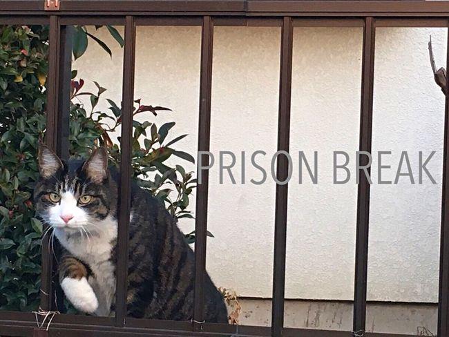 Prisonbreak Lovecats Love Cats
