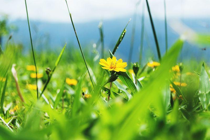 Girasol Flower