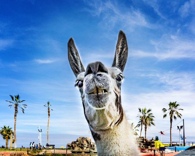 Close-up of llama against blue sky